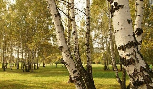 breza katran u liječenju hipertenzije hipertenzije, diuretik