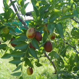 Slobodna Dalmacija - Zdravlje nadohvat ruke: čaj od maslinova lišća - pa zašto ne?!
