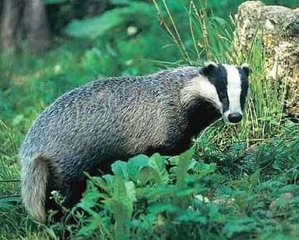 Badger mast: indikacije za uporabu