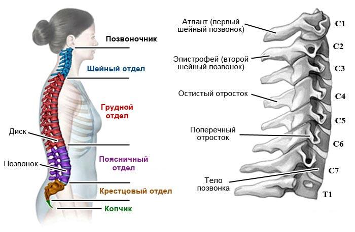 hipertenzija myshts- flexor